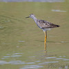 Lesser Yellowlegs <br /> Levee pool <br /> Road to Confluence Point State Park