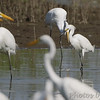 Snowy Egret among 100's of Great Egrets <br /> Power Line Pool (East side) <br /> Confluence Point Road <br /> Confluence Point State Park