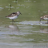 Least Sandpipers <br /> Levee pool <br /> Road to Confluence Point State Park