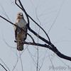 Red-tailed Hawk <br /> Confluence Point Road