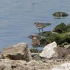 Spotted Sandpiper and Killdeer<br /> Teal Pond <br /> Riverlands Migratory Bird Sanctuary