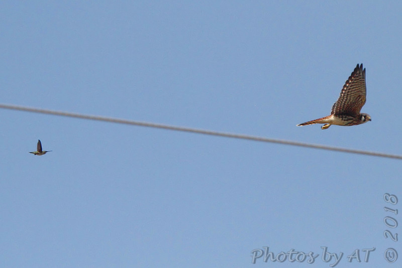 American Kestrel <br /> Ruby-throated Hummingbird <br /> Peruque Creek Rd, O'Fallon, MO