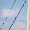Bank Swallows <br /> Keetman Sod Farm Road <br /> Winfield, MO