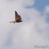 American Kestrel <br /> Peruque Creek Rd, O'Fallon, MO