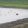 Great and Snowy Egrets and Racoon <br /> Entrance Pool (north side) <br /> Confluence Point Road