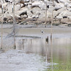 American Golden Plover <br /> Teal Pond <br /> Riverlands Migratory Bird Sanctuary