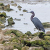 Little Blue Heron <br /> Ellis Bay <br /> Riverlands Migratory Bird Sanctuary