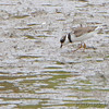Semipalmated Plover <br /> Teal Pond <br /> Riverlands Migratory Bird Sanctuary