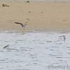 Greater Yellowlegs <br /> Teal Pond <br /> Riverlands Migratory Bird Sanctuary