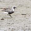 Black-bellied Plover <br /> Teal Pond <br /> Riverlands Migratory Bird Sanctuary