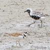 Black-bellied Plover <br /> and Killdeer <br /> Teal Pond <br /> Riverlands Migratory Bird Sanctuary
