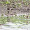 """Lesser Yellowlegs and Least Sandpiper <br /> """"Entrance Pool"""" (North side) <br /> Road to Confluence Point State Park"""