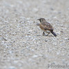 Horned Lark <br /> Road to Confluence Point State Park
