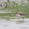 """Semipalmated Sandpiper <br /> """"Entrance Pool"""" (North side) <br /> Road to Confluence Point State Park"""
