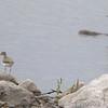 Spotted Sandpipers <br /> Ellis Bay <br /> Riverlands Migratory Bird Sanctuary