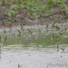 """Wilson's Phalarope and Cliff Swallow <br /> """"Entrance Pool"""" (North side) <br /> Road to Confluence Point State Park"""