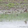 """Wilson's Phalaropes and Lesser Yellowlegs <br /> """"Entrance Pool"""" (North side) <br /> Road to Confluence Point State Park"""