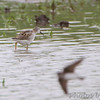 """Wilson's Phalarope <br /> """"Entrance Pool"""" (North side) <br /> Road to Confluence Point State Park"""