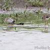 """Wilson's Phalarope and Lesser Yellowlegs <br /> """"Entrance Pool"""" (North side) <br /> Road to Confluence Point State Park"""