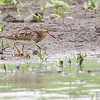 """Pectoral Sandpiper <br /> """"Entrance Pool"""" (North side) <br /> Road to Confluence Point State Park"""