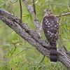 Cooper's Hawk <br /> Ted Shanks Conservation Area <br /> (Lens Model - EF500mm f/4L IS USM +1.4x III)