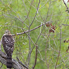 Cooper's Hawk and Ruby-throated Hummingbird <br /> Ted Shanks Conservation Area