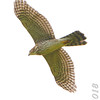 Cooper's Hawk <br /> Ted Shanks Conservation Area