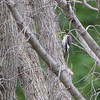 Red-headed Woodpecker (juvenile) <br /> Ted Shanks Conservation Area