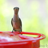Ruby-throated Hummingbird <br /> Bridgeton, MO <br /> 2018-08-03