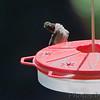 Ruby-throated Hummingbird <br /> Bridgeton, MO <br /> 2018-08-04