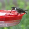 Ruby-throated Hummingbird <br /> Bridgeton, MO <br /> 2018-08-15