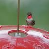 Ruby-throated Hummingbird <br /> Bridgeton, MO <br /> 2018-08-13