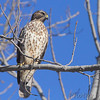 Cooper's Hawk <br /> Lincoln Shields Area <br /> Riverlands Migratory Bird Sanctuary