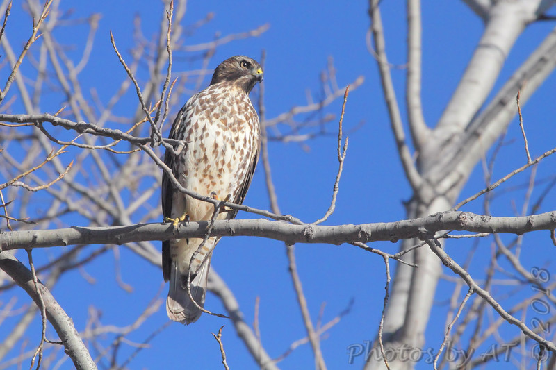 Cooper's Hawk <br /> Lincoln Shields Area <br /> Riverlands Migratory Bird Sanctuary