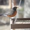 American Robin <br /> Bridgeton,Mo<br /> 2018-12-10