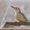 Red-bellied Woodpecker <br /> Bridgeton,Mo<br /> 2018-12-10