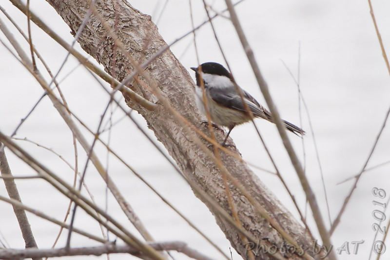Black-capped Chickadee <br /> Clarence Cannon National Wildlife Refuge
