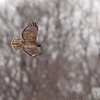 Red-tailed Hawk (Red-tailed Hawk ''Harlan's'') <br /> Just south of hwy CC on hwy 79 <br /> North end of Elsberry, Mo.
