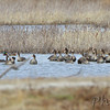 Greater White-fronted Geese <br /> and Mallards <br /> Clarence Cannon National Wildlife Refuge