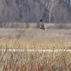 Northern Harrier <br /> Clarence Cannon National Wildlife Refuge
