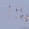 Snow Geese <br /> Clarence Cannon National Wildlife Refuge