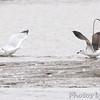 Lesser Black-backed Gull (immature) <br /> and Herring Gull <br /> Ellis bay  <br /> Riverlands Migratory Bird Sanctuary