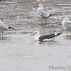 Lesser Black-backed Gull <br /> Ellis bay  <br /> Riverlands Migratory Bird Sanctuary