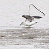Lesser Black-backed Gull (immature) <br /> Ellis bay  <br /> Riverlands Migratory Bird Sanctuary