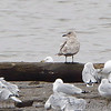 Iceland Gull <br /> first-cycle or possibly second-cycle <br /> Ellis Bay <br /> Riverlands Migratory Bird Sanctuary