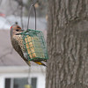 Northern Flicker <br /> Bridgeton, Mo. <br /> 2018-02-04