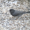 Dark-eyed Junco (Cassiar) <br /> Bridgeton, Mo<br /> 2018-02-04