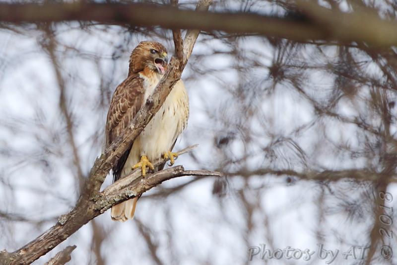 Red-tailed Hawk <br /> Bridgeton, Mo <br /> 2018-02-16