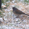 Dark-eyed Junco (Oregon) <br /> Bridgeton, MO <br /> 2018-02-04