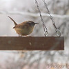Carolina Wren <br /> Bridgeton, MO <br /> 2018-02-04